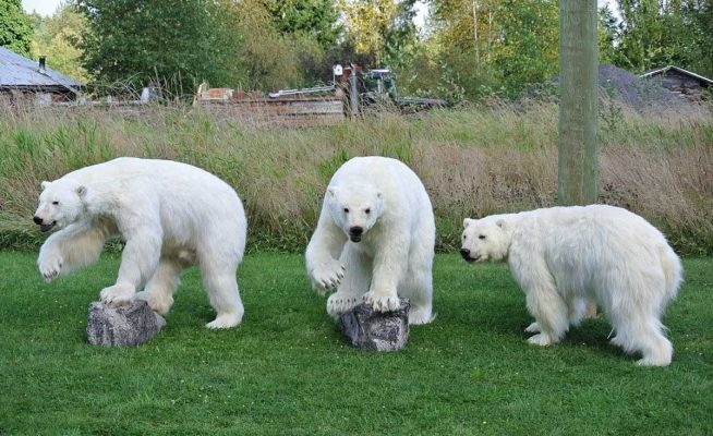 3-life-size-polar-bears-standing-taxidermy-mount-ray-wiens