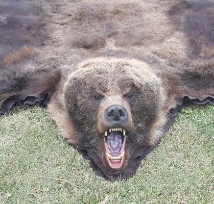 bear-rug-tanning-hides-ray-wiens