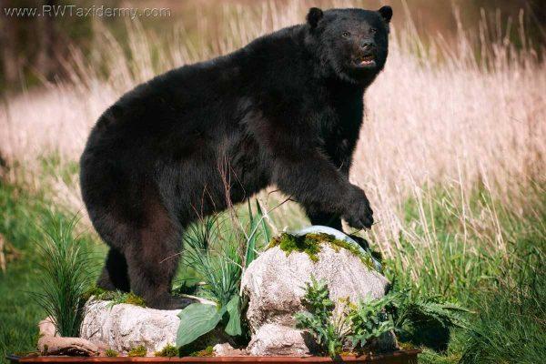 black-bear-life-size-mount-walking-on-rocks-ray-wiens