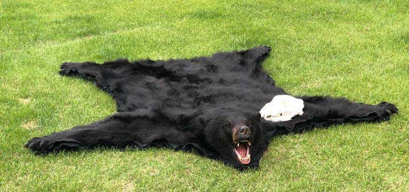 black-bear-tanning-hide-rug-ray-wiens
