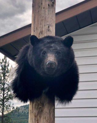 black-bear-shoulder-mount-ray-wiens