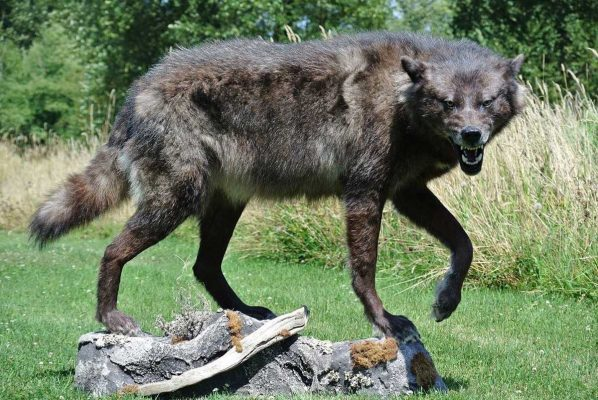 black-life-size-wolf-taxidermy-mount-snarl-ray-wiens