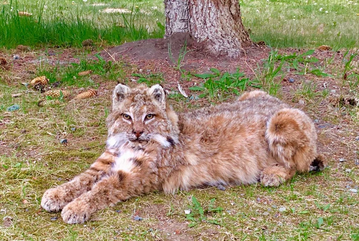 bobcat-life-size-taxidermy-mount-laying-in-grass-ray-wiens