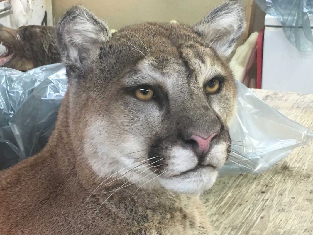 close-up-cougar-face-life-size-taxidermy-mount-ray-wiens