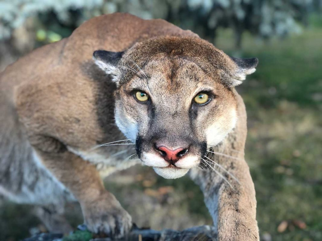 cougar-crouching-stalking-life-size-mount-taxidermy-ray-wiens-close-up