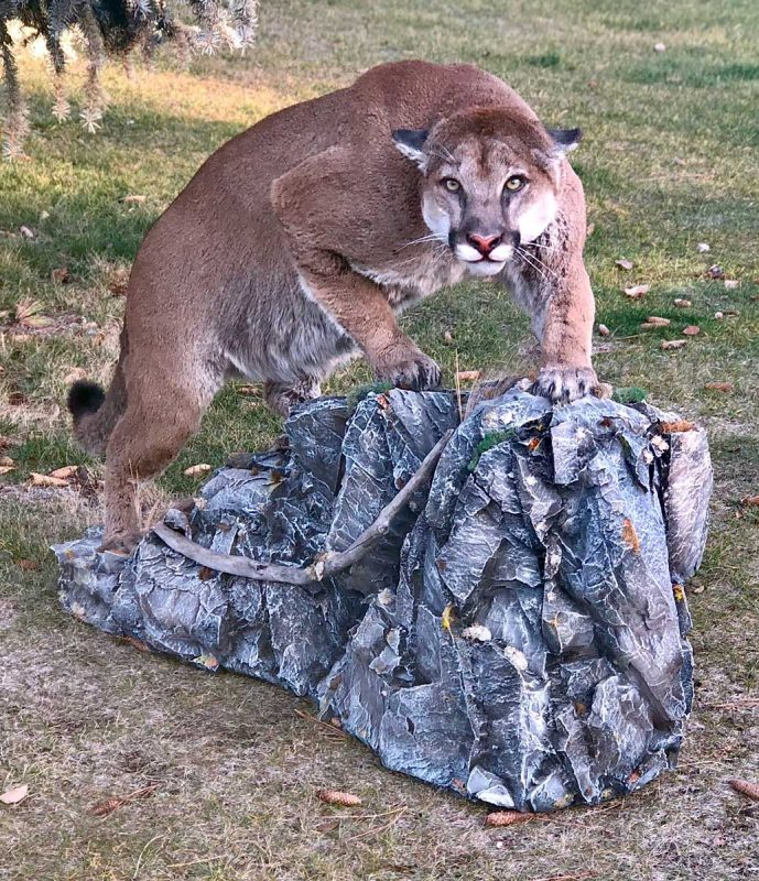 cougar-crouching-stalking-life-size-mount-taxidermy-ray-wiens