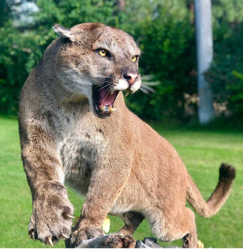 cougar-life-size-mount-hissing-taxidermy-ray-wiens-british-columbia