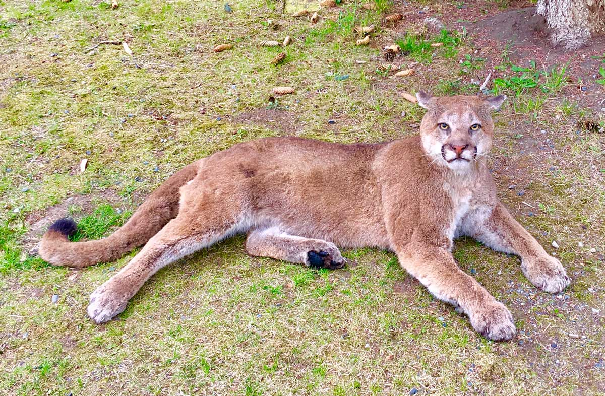 cougar-life-size-mount-laying-in-grass-ray-wiens