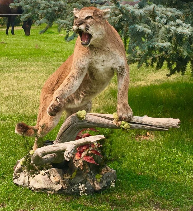 cats life size cougar mount ray wiens taxidermy