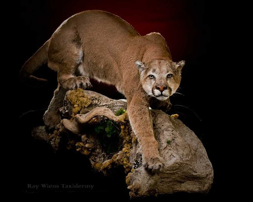 cats cougar mount life size crouching on rock ray wiens