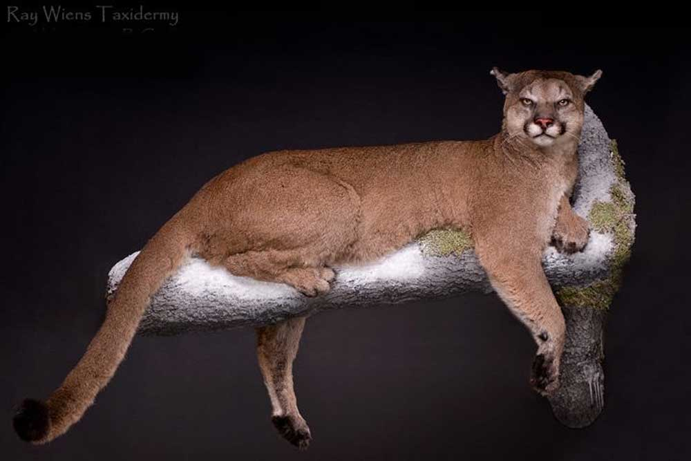 cats cougar life size mount laying on branch ray wiens