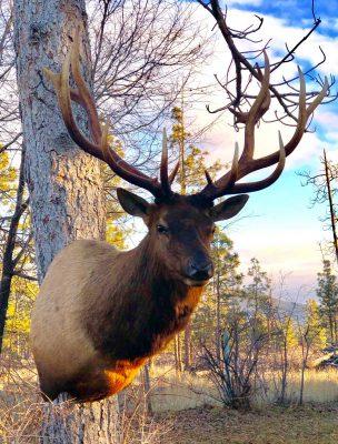 shoulder-elk-mount-taxidermy-ray-wiens