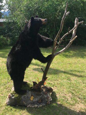 ull-size-black-bear-mount-climbing-small-tree-ray-wiens