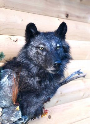 head-mount-wolf-ray-wiens-taxidermy-british-columbia