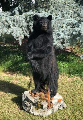 life-size-black-bear-mount-standing-ray-wiens-taxidermy