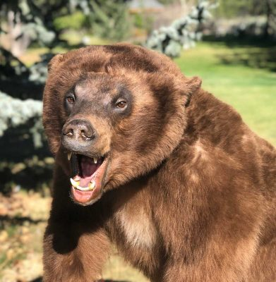 life-size-brown-bear-mount-ray-wiens-taxidermy