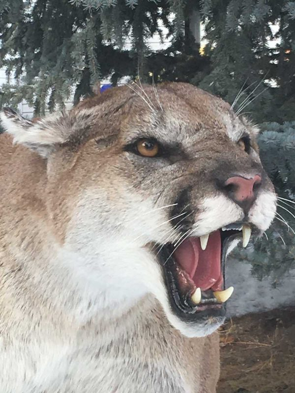 life-size-cougar-mount-hissing-ray-wiens