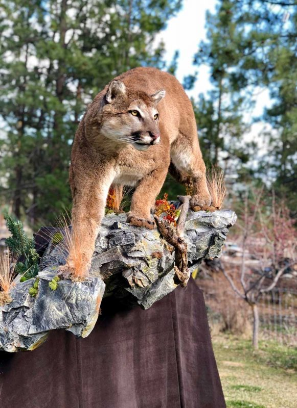 life-size-cougar-mount-standing-on-rock-ray-wiens