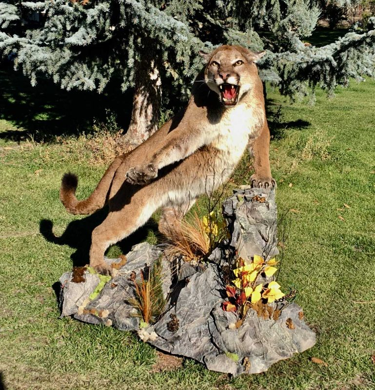 life-size-cougar-taxidermy-mount-fight-hissing-ray-wiens
