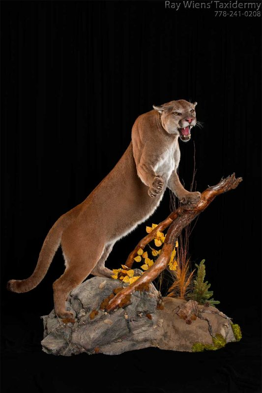 life-size-cougar-taxidermy-mount-fight-tree-branch-pose-ray-wiens