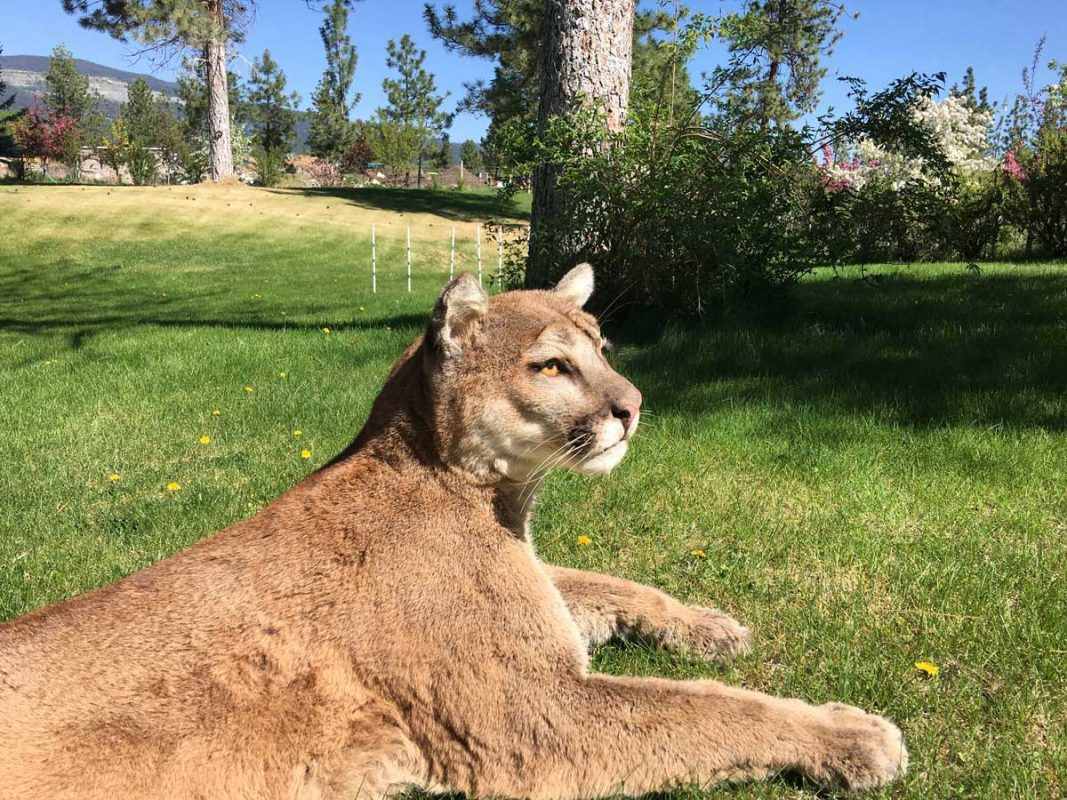 life-size-cougar-taxidermy-mount-laying-in-grass-ray-wiens