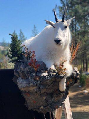 ife-size-goat-mount-walking-downhill-on-rocks-ray-wiens