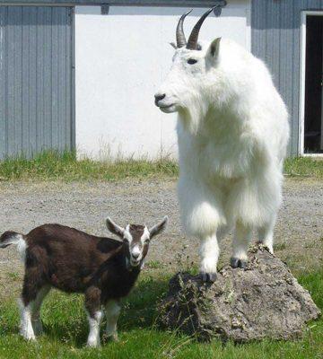 life-size-goat-mount-walking-on-rocks-ray-wiens