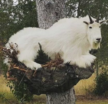 ife-size-goat-mounted-on-rocks-ray-wiens