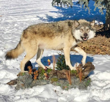 life-size-grey-wolf-mount-standing-on-rocks-ray-wiens