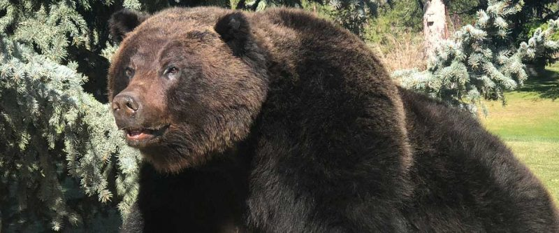 life-size-grizzly-mount-ray-wiens-taxidermy