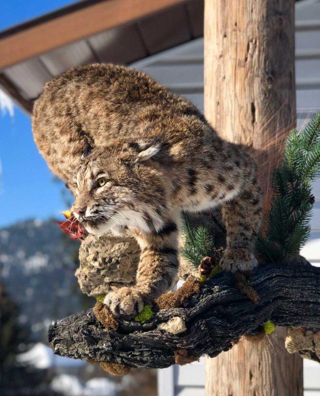 life-size-lynx-mount-crouching-stalk-ray-wiens