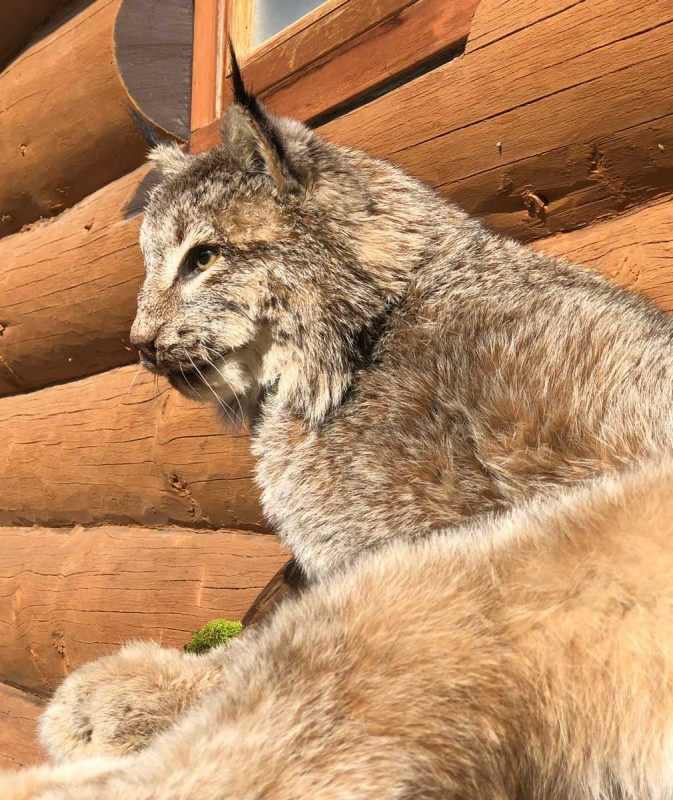life-size-lynx-taxidermy-mount-close-up-face-ray-wiens
