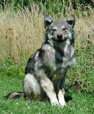 life-size-wolf-taxidermy-mount-sitting-position-ray-wiens