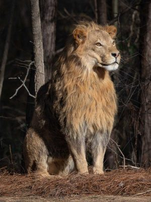 lion-sitting-life-size-taxidermy-mount-ray-wiens