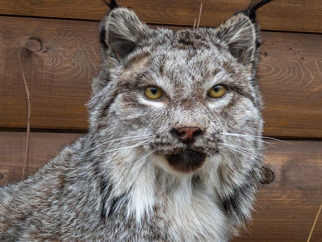 lynx-life-size-mount-ray-wiens
