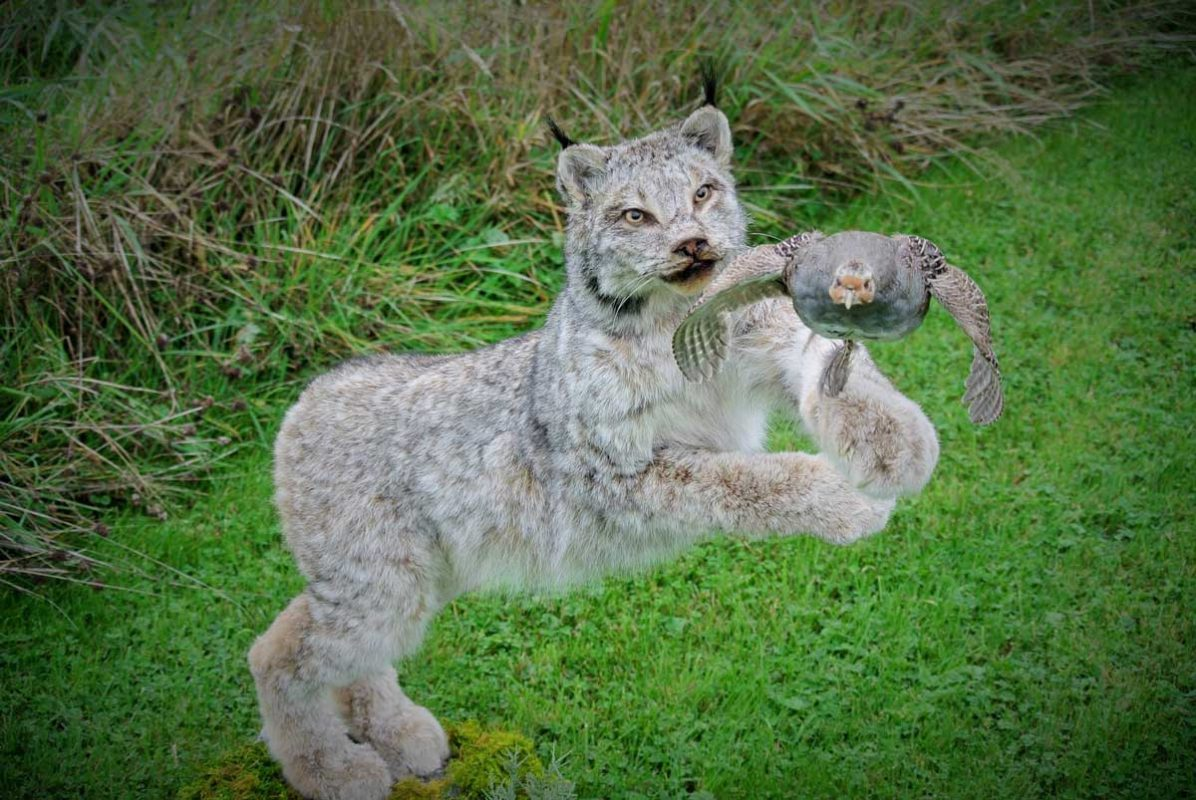 lynx-life-size-taxidermy-chase-bird-in-flight-ray-wiens