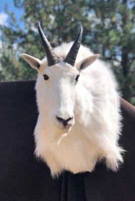 shoulder-goat-mount-ray-wiens-taxidermy