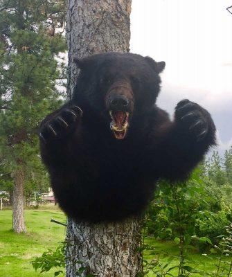 shoulder-mount-black-bear-ray-wiens-taxidermy