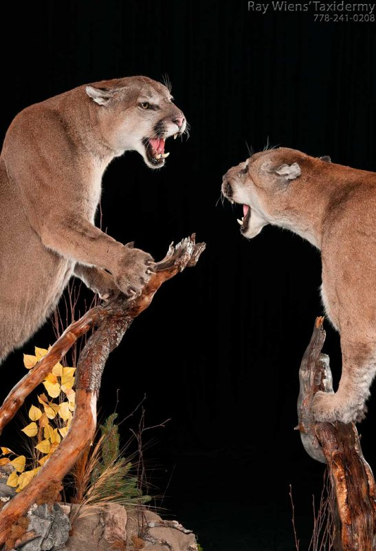 two-cougars-fighting-life-size-taxidermy-mount-ray-wiens