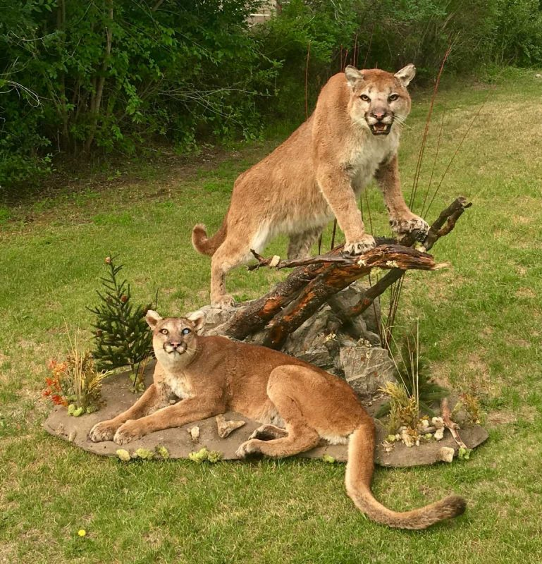two-life-size-cougar-taxidermy-mounts-male-female-pair-ray-wiens