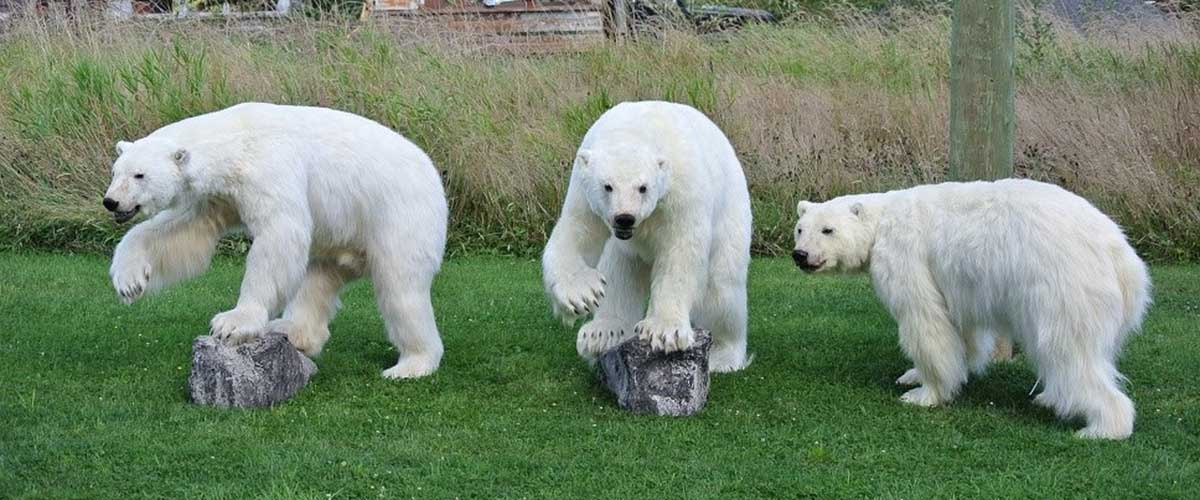 3 polar bears taxidermy ray wiens