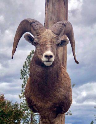 big-horn-sheep-head-mount-ray-wiens-taxidermy