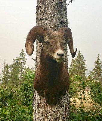 big-horn-sheep-taxidermy-mount-ray-wiens