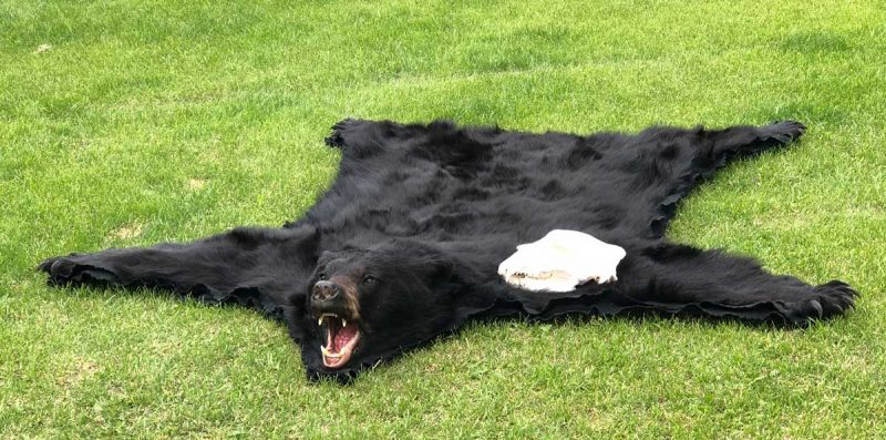 black-bear-rug-skull-ray-wiens-tannery-taxidermy