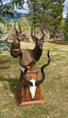 bush-buck-nyala-kudu-shoulder-mounts-ray-wiens-taxidermy