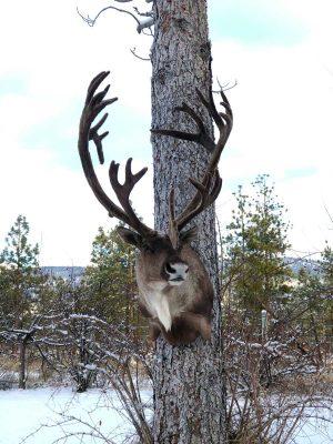 caribou-head-wall-mount-taxidermy-ray-wiens