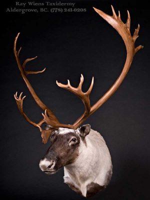 caribou-taxidermy-ray-wiens-british-columbia