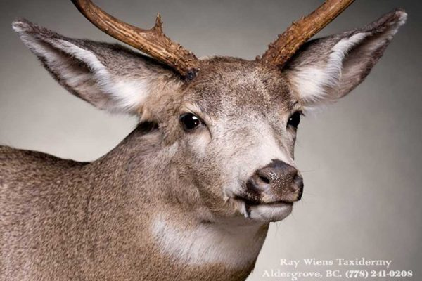 close-up-deer-taxidermy-mount-ray-wiens