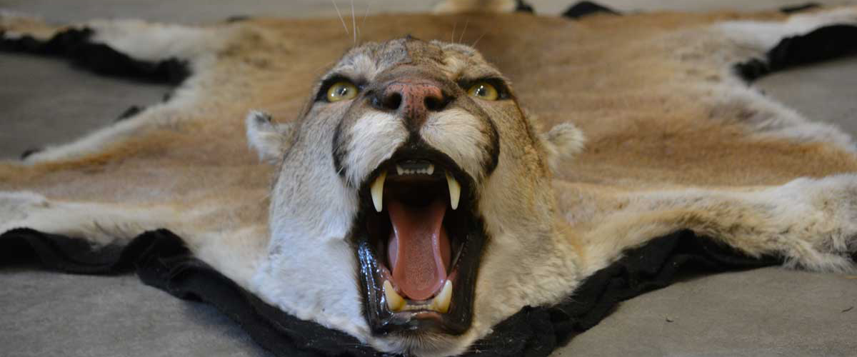 cougar-rug-ray-wiens-taxidermy tannery british columbia