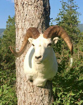 dall-sheep-head-mount-ray-wiens-taxidermy